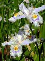 Fotos Iris japonica