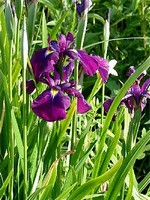Photos Iris kaempferi
