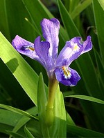 Photos Iris lacustris