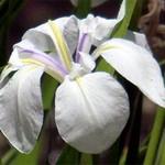 Fotos Iris laevigata