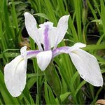 Photos Iris laevigata