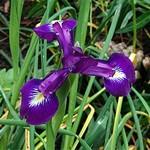 Fotos Iris latifolia