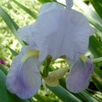 Photos Iris Barbata-Elatior