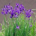 Photos Iris nertschinskia