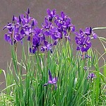 Fotos Iris nertschinskia
