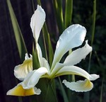 Photos Iris orientalis