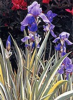 Photos Iris pallida