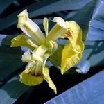 Fotos Iris pseudacorus