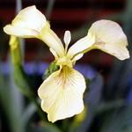 Fotos Iris pseudacorus var. bastardii