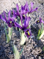Photos Iris reticulata