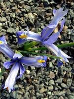 Fotos Iris reticulata
