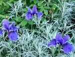 Fotos Iris sibirica