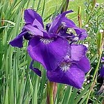 Photos Iris sibirica