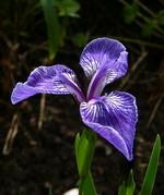 Fotos Iris sintenisii