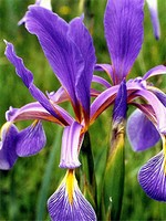 Photos Iris spuria