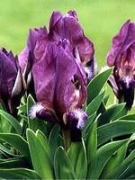Fotos Iris suaveolens var. rubromarginata