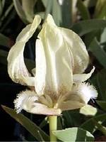 Fotos Iris suaveolens