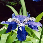 Photos Iris tectorum