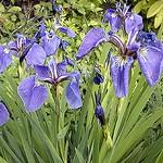 Fotos Iris tenax