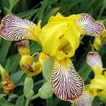 Photos Iris variegata