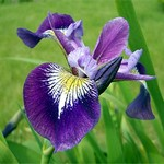 Photos Iris versicolor