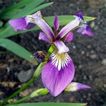 Photos Iris versicolor