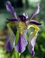 Photos Iris wilsonii