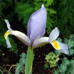 Fotos Iris xiphioides