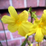 Jasminum nudiflorum - Winter-Jasmin, Gelber Winter-Jasmin