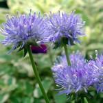 Jasione laevis - Blauköpfchen, Blaulicht