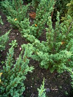 Juniperus chinensis - Chinesischer Wacholder Blaauw