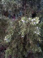 Juniperus chinensis - Keteleers China-Wacholder Keteleeri