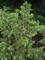 Juniperus chinensis - Chinesischer Wacholder Pfitzeriana Aurea