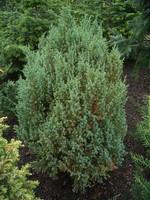 Juniperus chinensis - Chinesischer Wacholder Stricta