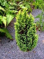 Juniperus communis - Gelber Säulen-Wacholder Compressa