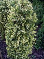 Juniperus communis - Gelber Säulen-Wacholder Gold Cone