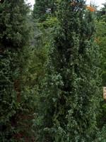 Juniperus communis - Irischer Säulen-Wacholder Hibernica