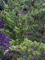 Juniperus virginiana - Canaert