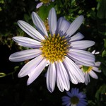 Kalimeris incisa - Garten-Sch�n-Aster Blue Star