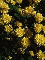 Kerria japonica - Gemeiner Ranunkelstrauch