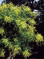 Koelreuteria paniculata - Rispiger Blasenbaum