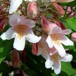 Kolkwitzia amabilis - Kolkwitzie, Perlmuttstrauch