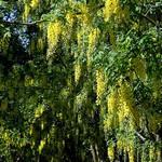Laburnum anagyroides - Gemeiner Goldregen