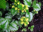 Lamium galeobdolon - Garten-Goldnessel