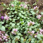 Photos Lamium maculatum