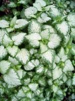 Lamium maculatum - Gefleckte Taubnessel White Nancy