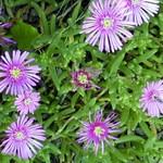 Lampranthus spectabilis - Mittagsblume, Eisblume