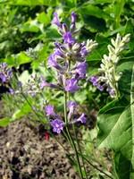 Lavandula angustifolia - Garten-Lavendel Folgate