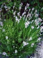 Lavandula angustifolia - Rosablühender Garten-Lavendel Loddon Pink