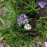 Lavandula angustifolia - Garten-Lavendel Blue Cushion